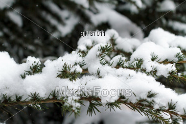 Spruce Branches Under The Cap Of Snow Stock Photo
