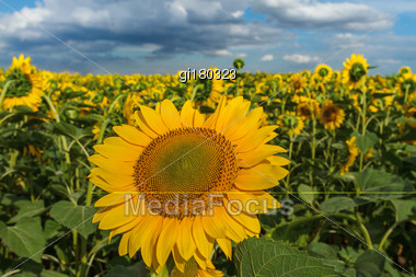 Sunflower With Blue Sky Background.Sunflower And Cloudy Sky Stock Photo