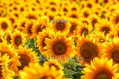 Sunflower Field, Backlit, Close-up Stock Photo