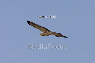 Swainson Hawk Prairie In Saskatchewan Canada N Flight Stock Photo