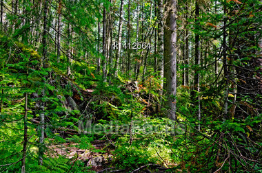 Taiga With Green Pine Trees In The Mountains Of Northern Urals Stock Photo