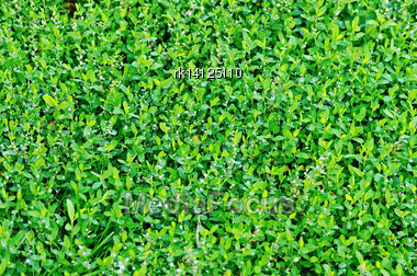 Texture Of Fresh Green Grass With Small White Flowers Stock Photo