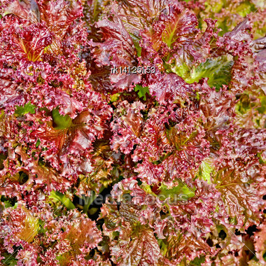 Texture Of The Leaves Of Red Lettuce Stock Photo