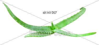 Top View On Young Branch Of Aloe With Green Leaf. Isolated On White Background. Close-up. Studio Photography Stock Photo