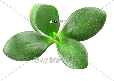 Top View On Young Branch Of Crassula With Green Leaf. Isolated On White Background. Close-up. Studio Photography Stock Photo