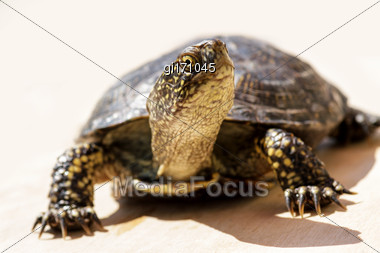 Tortoise Climbed Out Of The Shell And Crawled Along An Even Surface. Close-up, Focus On Head Stock Photo