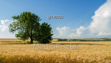 Wheat Field On A Background Of Blue Sky. Panorama From Multiple Images Stock Photo