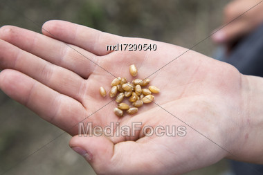 Wheat Saskatchewan Canada Close Up Harvest Time Stock Photo