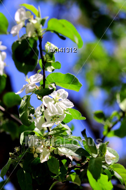 White Flowers And Green Leaf Of Apple Tree On Blue Sky Background. Close-up Stock Photo