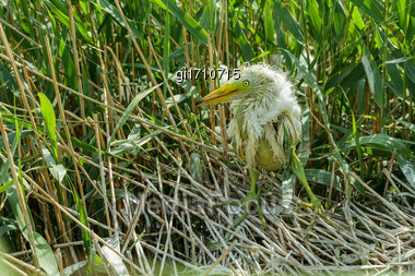 White Heron Chick Sitting In The Nest, Close-up Stock Photo