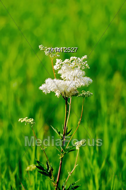 White Meadowsweet Flower On A Background Of Green Grass Stock Photo
