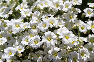 Wild White Flowers On A Sunny Day. Shallow Depth Of Field, Top View Stock Photo