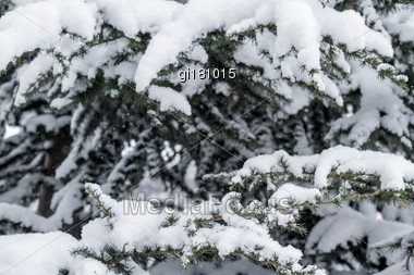 Winter Evergreen Branches Covered In Snow. Close-up Stock Photo
