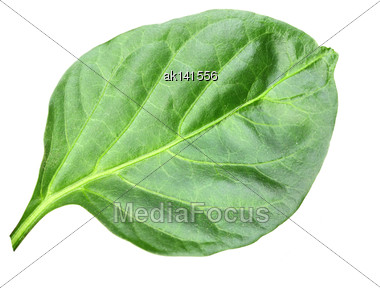 Wry A Green Leaf Of Pepper. Isolated On White Background. Close-up. Studio Photography Stock Photo