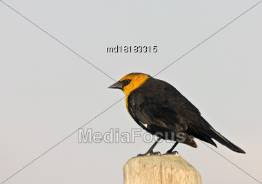 Yellow Headed Blackbird On Post In Saskatchewan Canada Stock Photo