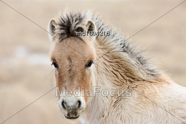 Young Colt Canada Saskatchewan Close Up Winter Stock Photo