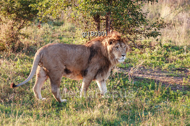 Young Lion In The Background Of The Savannah. Close-up Stock Photo