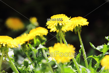 Young Sprout Of Yellow Dandelion On Dark Of-focus Background. Close-up Stock Photo