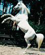 farm stallion animals horses white prancing stock photo