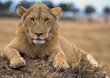 lion wild cat carnivores male wildlife stock photo
