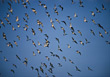 bird flying free blue background flock stock photography