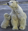 bear polar predator ice wildlife arctic stock image