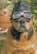 bulldog dogs glasses pets goggles puppy stock photography