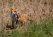 wild predator fox carnivores hunting wildlife stock photo
