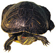 water shell animals aquatic wildlife turtles stock photo