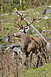 18-point Red Deer Stag, Cervus Elephus, West Coast, South Island, New Zealand