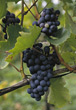 wine fruit vinyards vine grape food stock photo