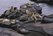 seals sealions wild carnivores wildlife ocean stock photo