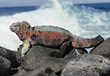 marine wild animals iguanas wildlife reptile stock photo