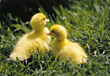 farm animals chick duckling birds stock image