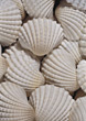 shells backgrounds white seashell stock photo