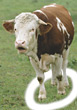 farm mammals animals cattle cows livestock stock photography