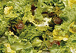 greens fresh backgrounds appetizers salads stock photo