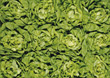 greens boston fresh lettuce backgrounds appetizers stock photo
