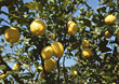 tree citrus fresh fruits agriculture branch stock image