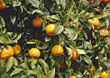 orange tree citrus fresh fruits agriculture stock photography