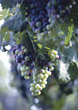 wine fruit fresh grape backgrounds agriculture stock image