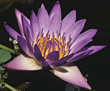 water purple lily background flower stock photo