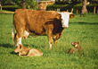 farm cow brown cattle mammal calves stock photo