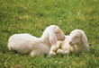 farm mammals animals sheep lamb spring stock image
