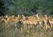 mammals wild animals wildlife gazelle deer stock photo