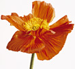 orange hibiscus stem flower stock photo