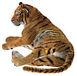 3D Digital Render Of A Big Cat Tiger Resting Isolated On White Background