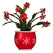 3D Digital Render Of A Christmas Cactus In A Flower Pot Isolated On White Background