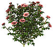3D Digital Render Of A Pink Rose Bush Isolated On White Background