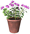 3D Digital Render Of A Purple Geranium Pot Isolated On White Background